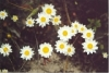 White Paper Daisy