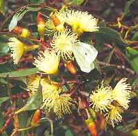 Eucalypt and butterfly