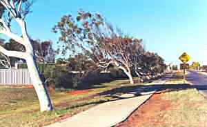 Leaning trees at Carnarvon