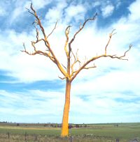 Yellow-painted tree, Three Springs