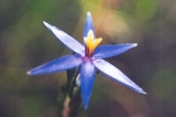 Blue Tinsel Lily 2
